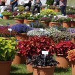 Wielobarwna oferta roślin balkonowo-rabatowych prezentowanych podczas Dni Otwartych firmy Florensis
