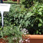 Warzywno-ozdobny miniogródek: Capsicum annuum 'Patio Basket of Fire F1', Capsicum annuum Snackor F1', Gypsophila repens 'Filou Rose', Solanum lycopersicum 'Balconi Red', Solanum lycopersicum 'Balconi Yellow'