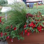 Begonia boliviensis 'Sparkler Scarlet', Begonia boliviensis 'Sparkle White Blush', Calibrachoa x hybrida Cabaret 'Bright Red', Calibrachoa x hybrida Cabaret 'Pure Yellow', Coleus x hybrida 'Trusty Rusty'