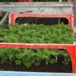 Produkcja sadzonek chryzantem w kostkach torfowych - jedna z podstawowych dziedzin działalności gospodarstw Turscy i Szerypo
