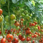 Pomidor Epundo F1