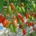 Obfite grona pomidora typu San Marzano - odmiana Seviocard F1