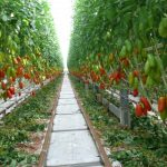 Pomidor typu San Marzano - Seviocard F1