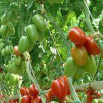 Pomidor śliwkokształtny Romanella F1