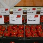 Wielkoowocowe i standardowe odmiany pomidora marki De Ruiter