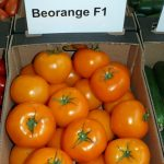 Pomidor wielkoowocowy Beorange F1