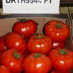 Pomidor wielkoowocowy testowany pod numerem DRTH9544 F1