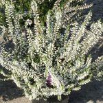 Calluna vulgaris Gardengirls 'Reinweisse Lena'