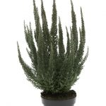 Calluna vulgaris Skyline®' Cologne'