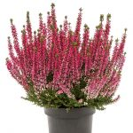 Calluna vulgaris Beauty Ladies'Sela'