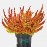 Calluna vulgaris 'Seastar'