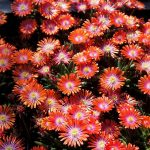 Delosperma Jewel of Desert Sunstone