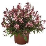 Gaura lindheimeri Graceful Pink