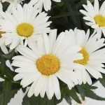 Leucanthemum maximum Christine Sweet Daisy