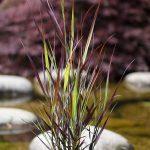 Panicum virgatum Purple Breeze