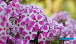 Phlox paniculata 'Verscan' (Bambini Candy Crush)