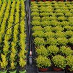 Rośliny na kontenerowni - z prawej wrzos Beauty Ladies 'Agneta'_Florigrow