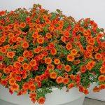 Calibrachoa-Colibri-Orange_Danziger_FlowerTrials-2017