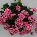 Pelargonium _Calliope-M-PinkSplash_Syngenta_FlowerTrials-2017