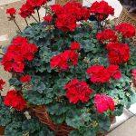 _Pelargonium zonale _Tumbao_Selecta_FlowerTrials-2017