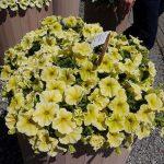 Petunia ×hybrida Viva 'Deep Yellow'_Florensis