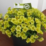 Petunia ×hybrida FP Select 'Banana-Candy' (Syngenta)