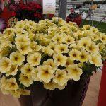 Petchoa SuperCal 'Light Yellow'_Sakata
