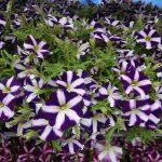 Petunia_Amore-Purple__FlowerTrials-2017