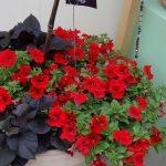 Petunia Surfinia Trailing 'Red'