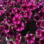 etunia_Crazytunia-Ultra-Violet_Westhoff-