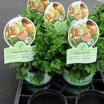 Pelargonium-Grandeur-Odorata-Orange_Florigrow