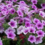 Petunia-Sanguna-Hot-Rose-Vein_Florigrow