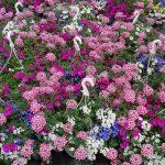 Balkonowo-rabatowy-mix_Florigrow