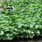 Warzywa do upraw amatorskich, w markowych doniczkach firmy Florigrow