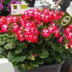 Pelargonium-zonale_Bunny-Cherry-Ice_FlowerTrials-2017