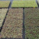 Coprosma - ukorzenione sadzonki do dalszej uprawy w gospodarstwie Florigrow,