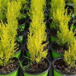 Cyprys wielkoszyszkowy (Cupressus macrocarpa) 'Goldcrest'_Florigrow