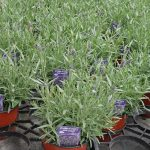 Lavandula angustifolia Aromatico 'Blue Compact'_Florigrow