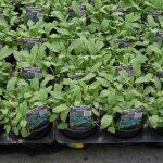 Salvia officinalis 'Maxima'_Florigrow