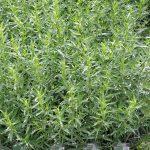 Artemisia dranunculus_Bylica draganek_estragon_Florigrow