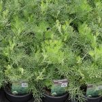 Artemisia arboratum 'Cola'_Florigrow