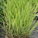 Cymbopogon citratus_Trawa cytrynowa_Florigrow