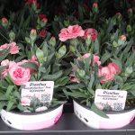Gozdzik (Dianthus)_Oscar-Pink_Florigrow_AC