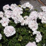 Pelargonium-peltatum_Toscana-Lona-GC_Florensis_FlowerTrials-2017