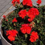 Pelargonium-zonale_Sally_Florensis_FlowerTrials-2017
