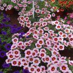 Calibrachoa_Uno-Pink-Purple-Splash_Selecta_FlowerTrials-2017
