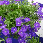 Petunia_Surfinia-Ocean-Blue_MNP-Flowers_Suntory_FlowerTrials 2017