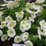 Petunia_Success-Yellow-Chiffon_Benary_FlowerTrials-2017