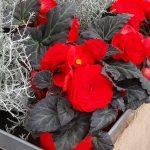 Begonia x tuberhubrida Nonstop Mocca 'Red' (Benary)