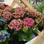 Hydrangea-macrophylla_Lady-Mata-Hari